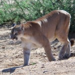 Mountain Lion Roaming Hollywood Hills Has Eaten Rat Poison and Has Mange [VIDEO] [UPDATE]