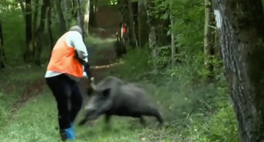 Wild Boar Attacks Human Dangerous Bacon...
