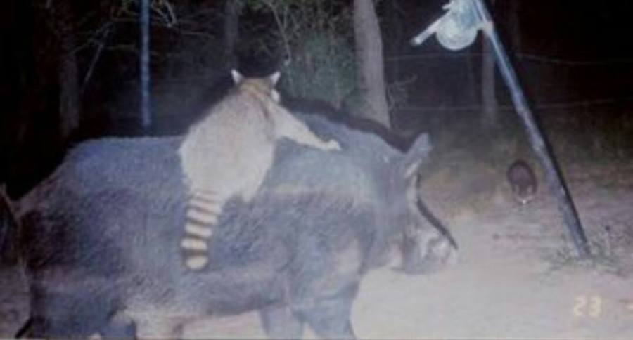 10 Inexplicable Animals Or Something Caught On Trail