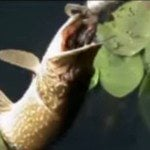 Here's Your Daily Dose of a Pike Attack on a Topwater Frog Lure [VIDEO]
