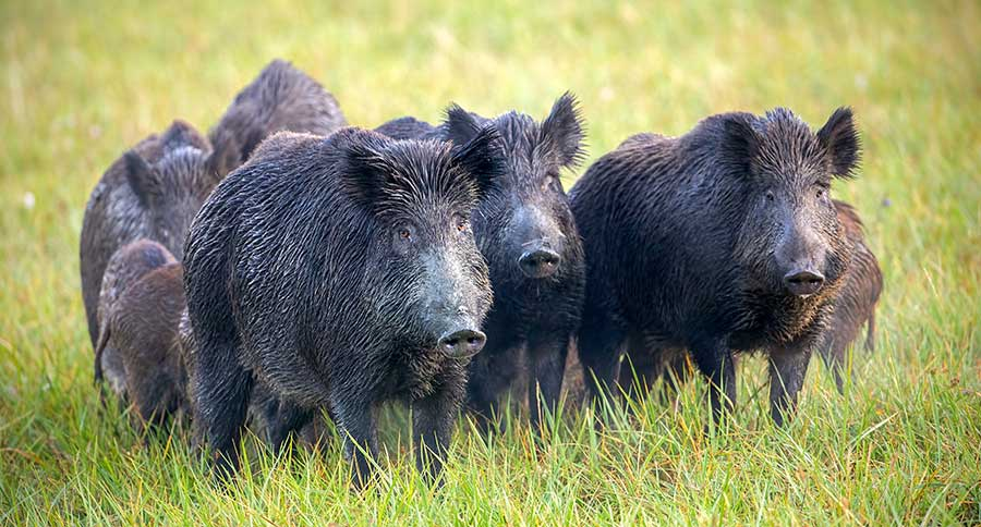 War On Feral Hogs