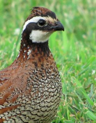 long island quail army