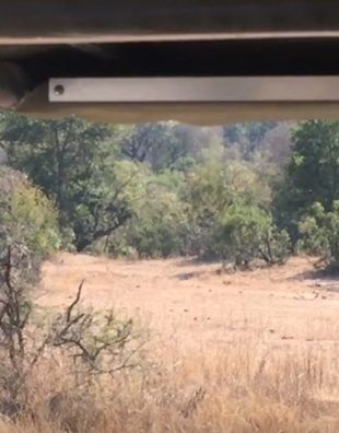 Can You Spot The Hidden Leopard Before It Kills That Unsuspecting Impala?