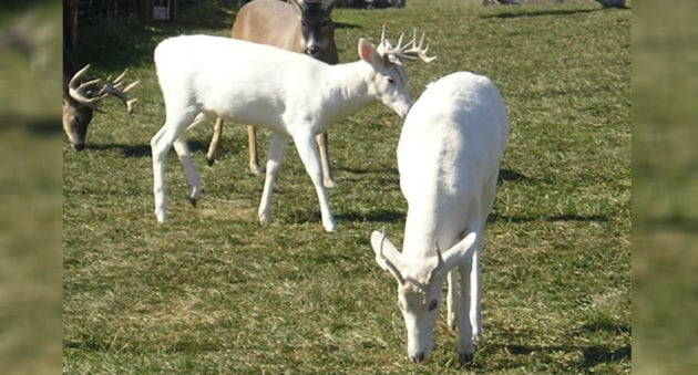 Albino and Piebald Deer