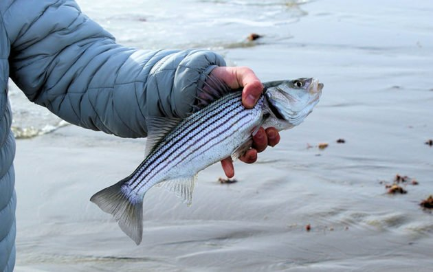 Striped Bass Populations