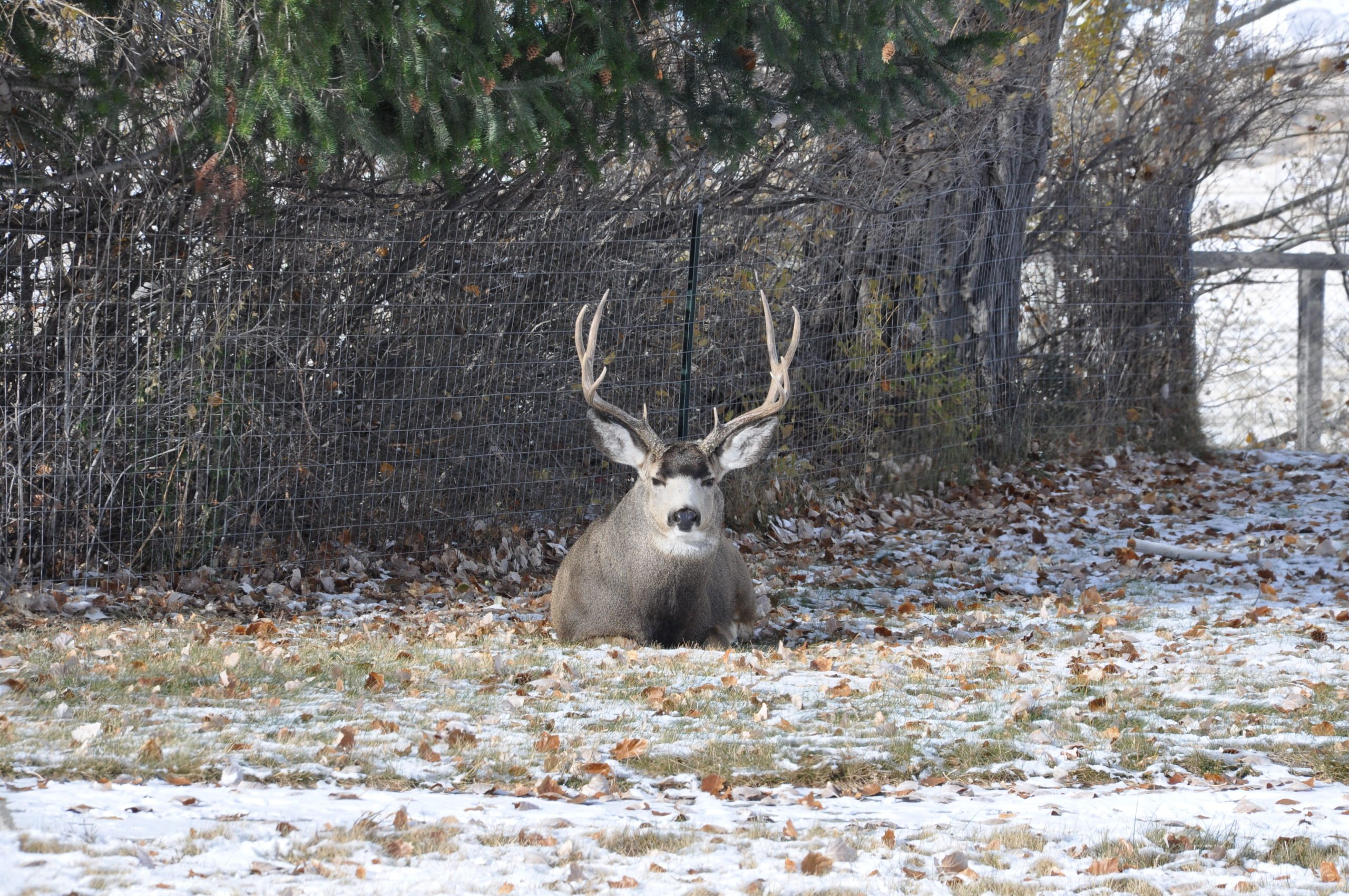 Whitetail vs. Mule Deer