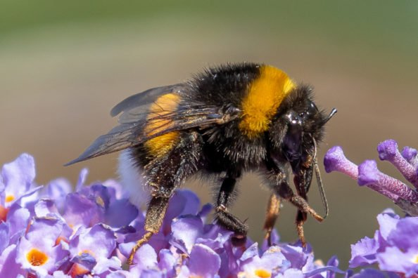 Do Bumble Bees Sting?
